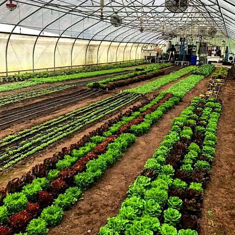 Interior shot of agricultural greenhouse with lettuce and microgreens.