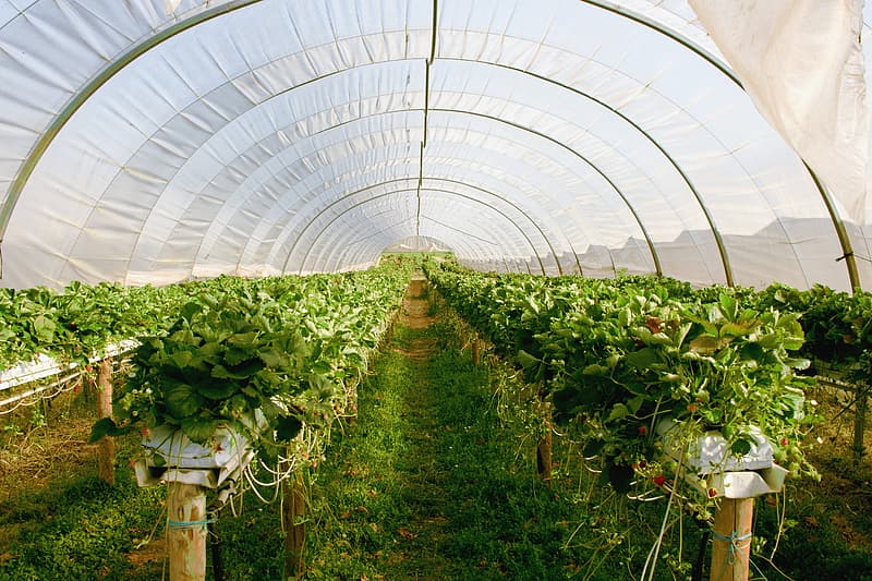 Interior of plastic roofed agricultural greenhouse with strawberry plants.